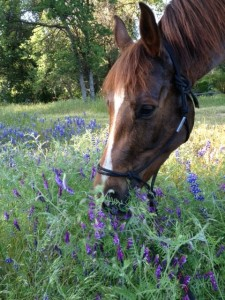 My mare Cognac, giving thanks for a field of locoweed.