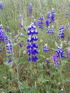 Lupine.  Everyone gives thanks for lupine.